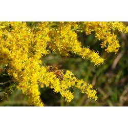 Bee working Goldenrod