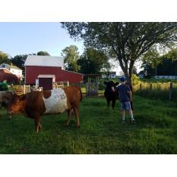 Cows 3